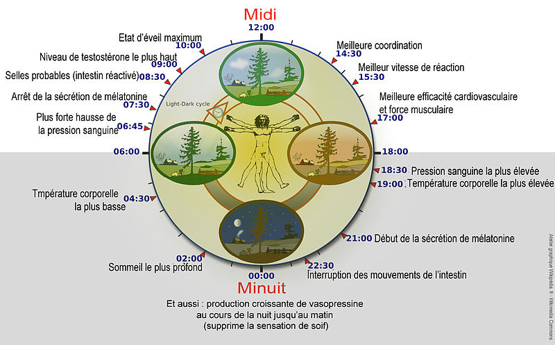 Biological clock human chronobiologie